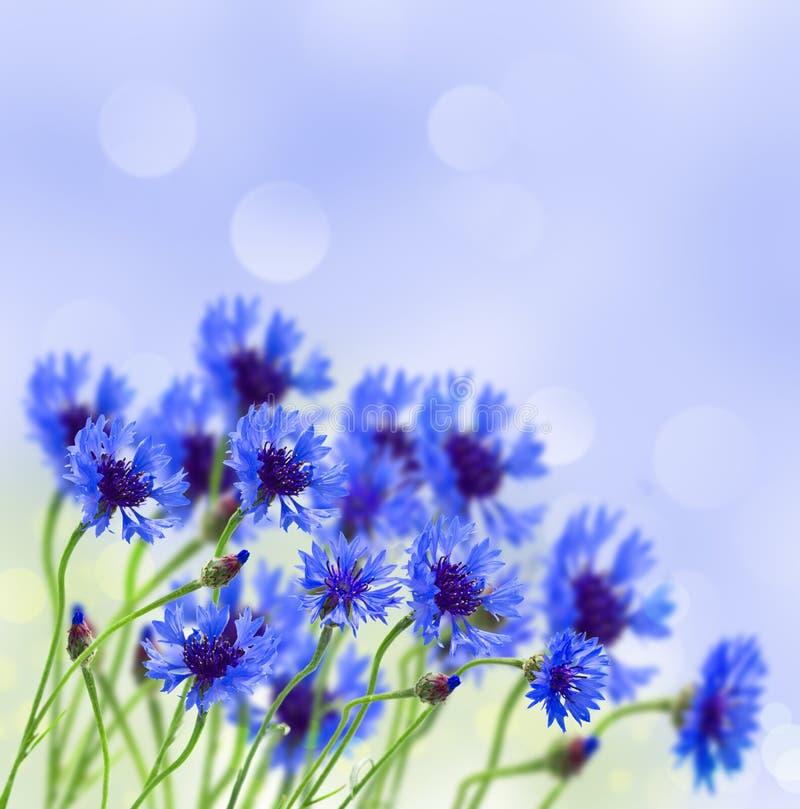 在领域的蓝色玉米花 库存图片