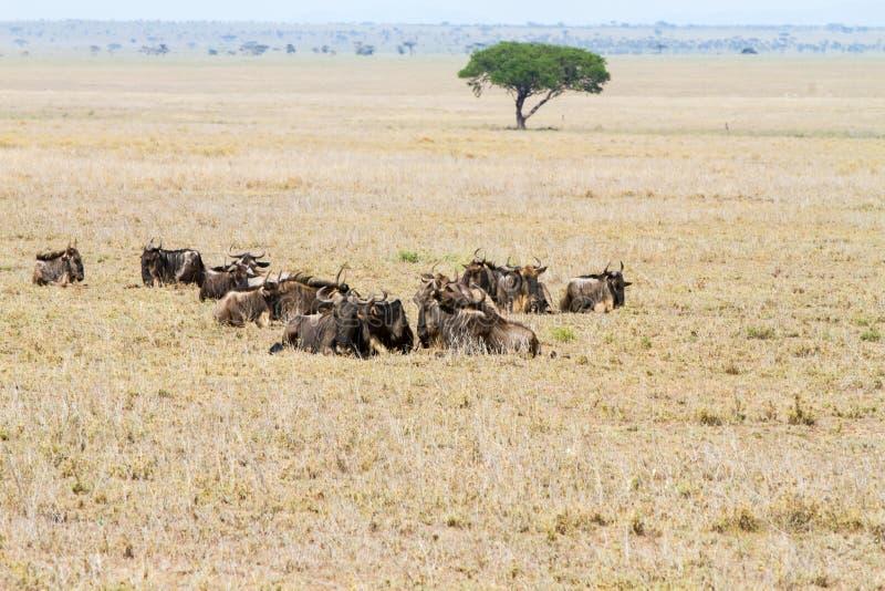 在领域的蓝色角马牛羚 免版税库存图片