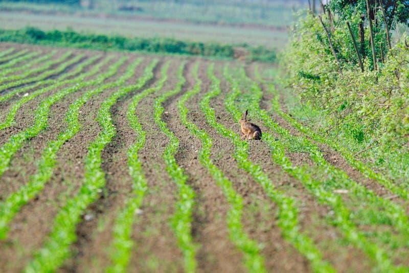 在领域的野兔 库存图片