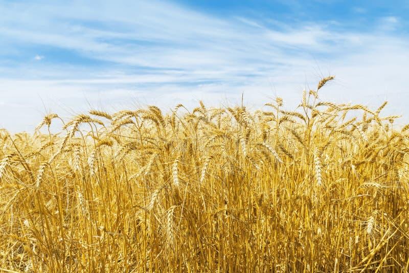 在领域的金在蓝天的庄稼和云彩 库存图片