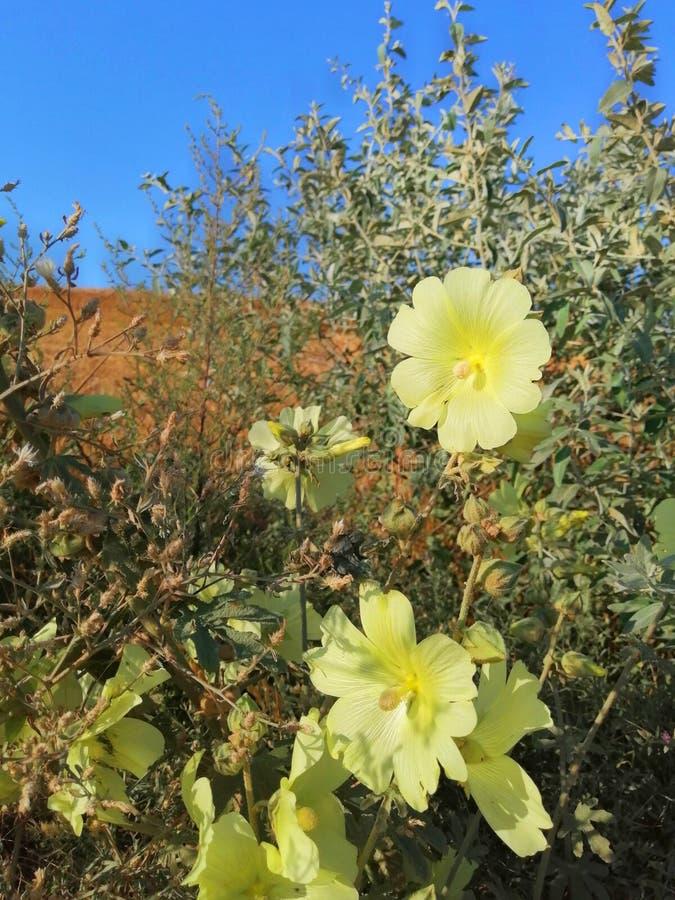 在领域的锦葵属反对天空 库存图片