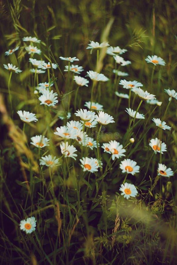 在领域的雏菊花 库存图片