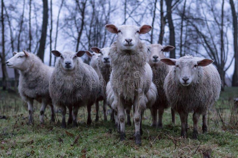 在领域的饥饿的绵羊 库存图片