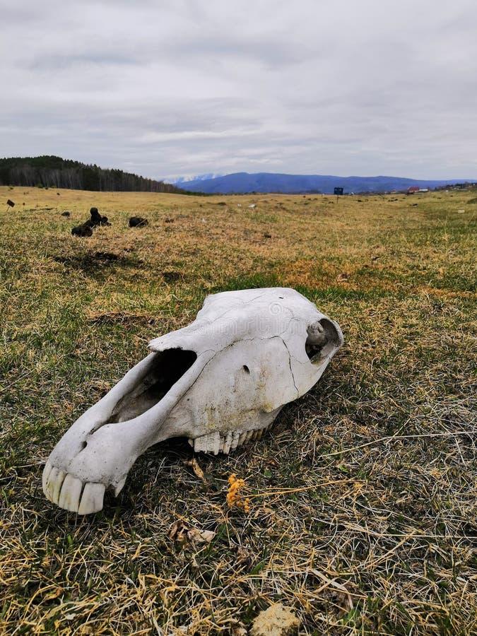 在领域的马头骨 库存图片