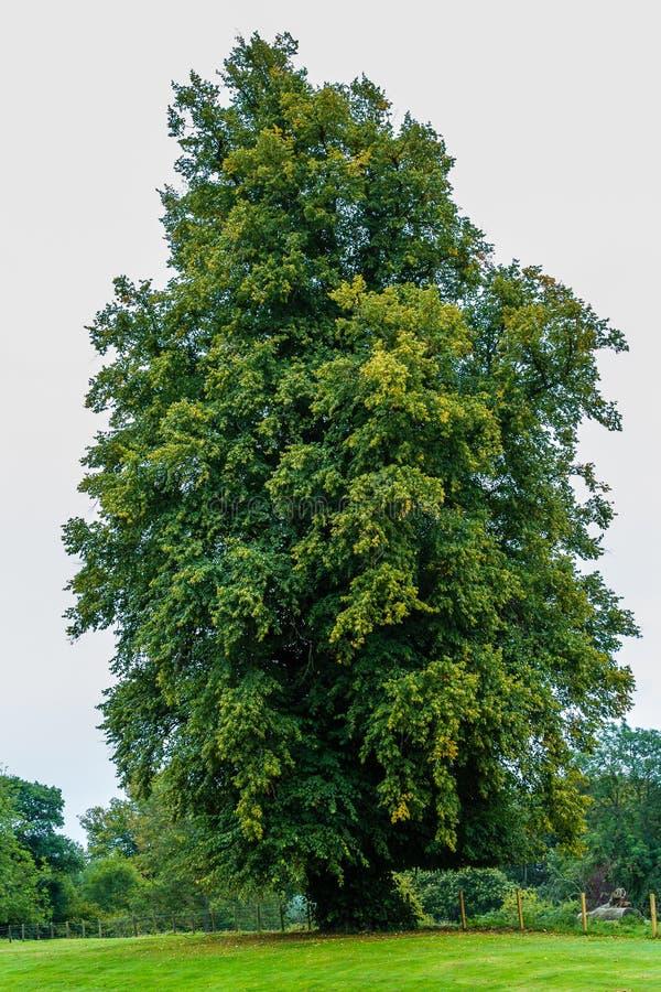 在领域的高橡树 图库摄影