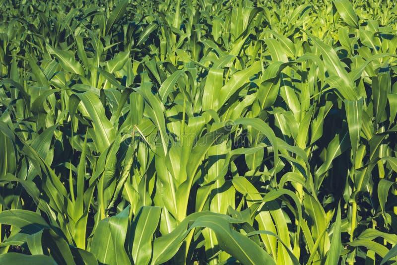 在领域的麦地晴朗的夏日 浅景深 年轻玉米绿色水多的叶子  痛苦 免版税库存图片