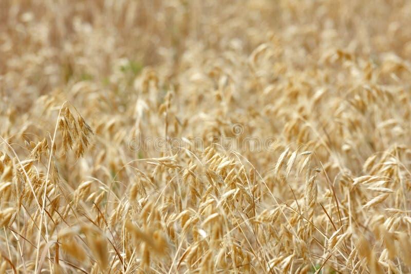 在领域的麦子耳朵在晴天 库存照片