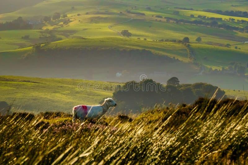 在领域的绵羊与英国的绵延山 库存照片