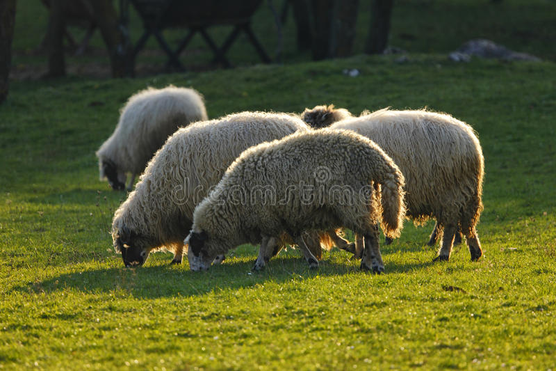在领域的绵羊 免版税库存图片