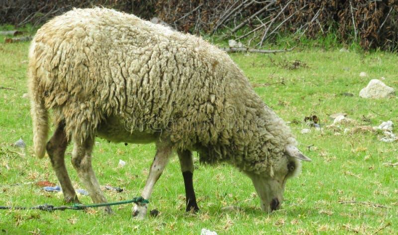 在领域的绵羊 免版税库存照片