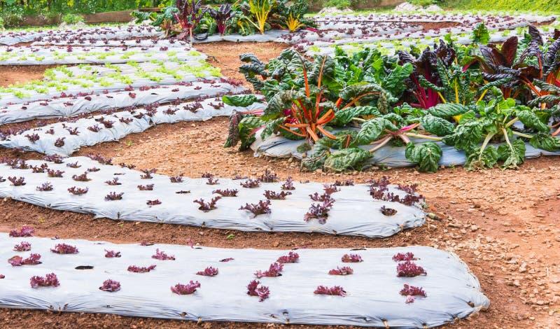 在领域的莴苣菜 免版税图库摄影