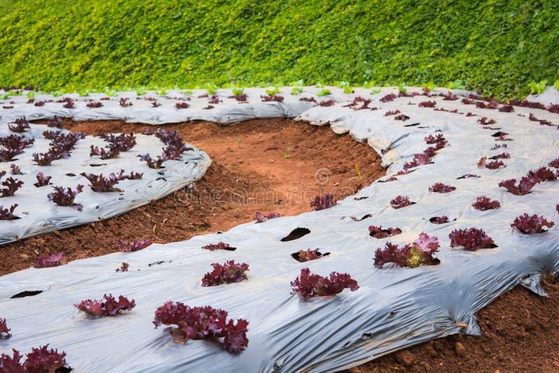 在领域的莴苣菜 库存照片