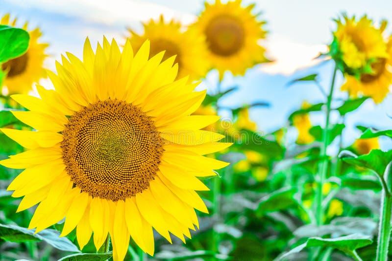 在领域背景的明亮的开花的向日葵 免版税图库摄影