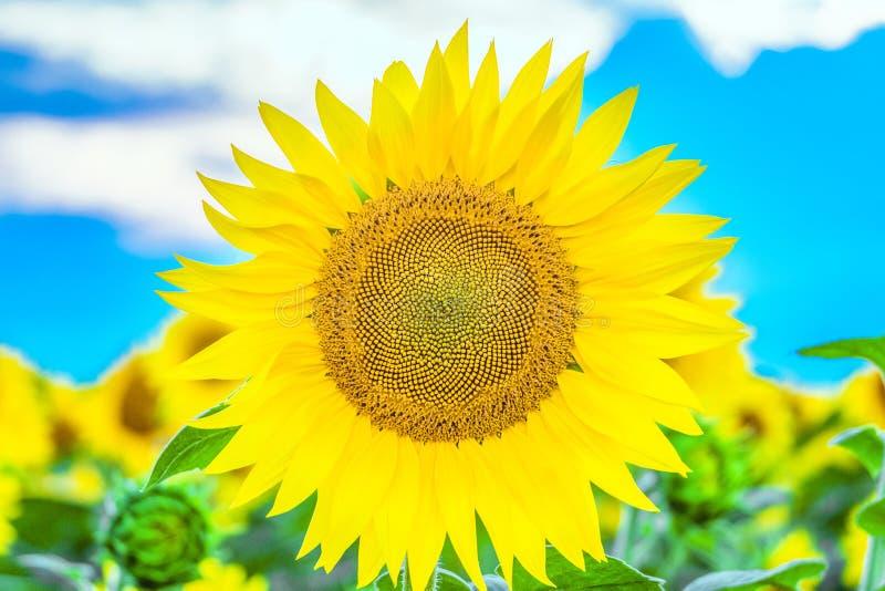 在领域背景的明亮的黄色开花的向日葵 库存图片
