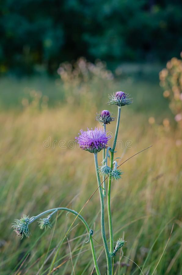 在领域草本背景的一大紫色花琥珀蟒蛇moschata  在观察水平的射击 E r 免版税库存图片