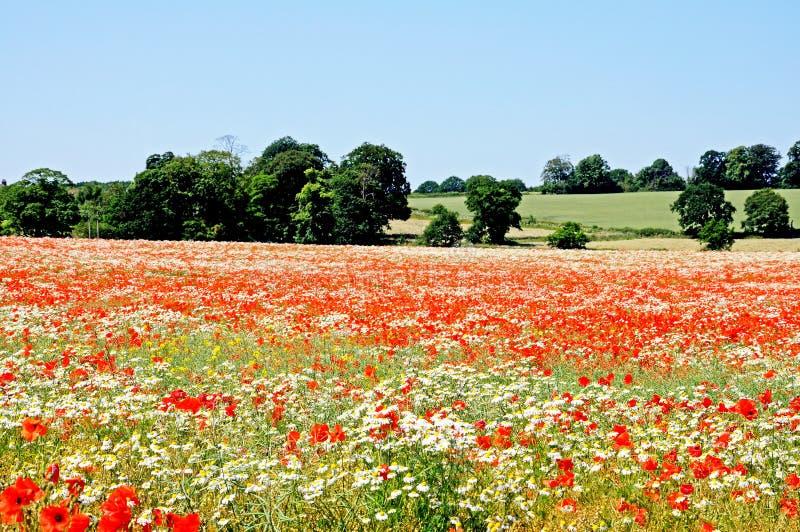 在领域,利奇菲尔德的野花 免版税库存图片