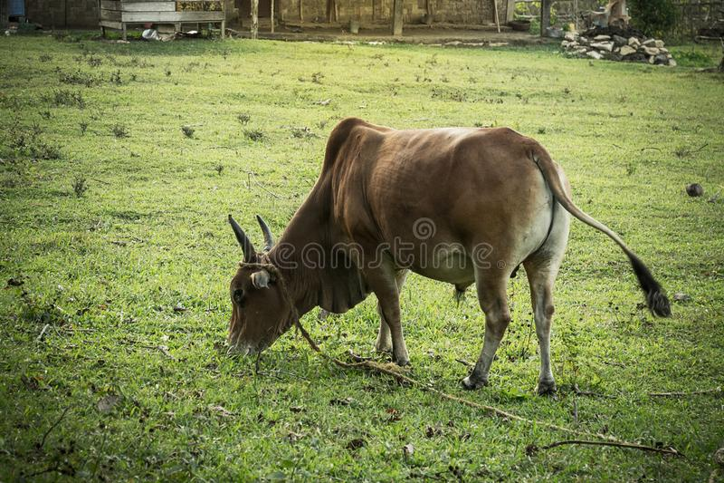 在领域- nellore,白色母牛的肉用牛公牛 图库摄影