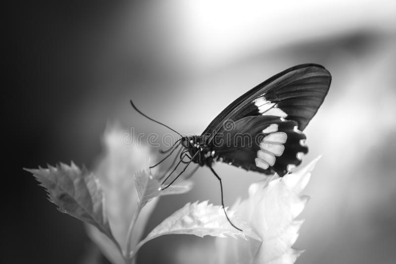 在颜色和黑放置的单独蝴蝶红色白色在黑白的夏天 免版税库存照片