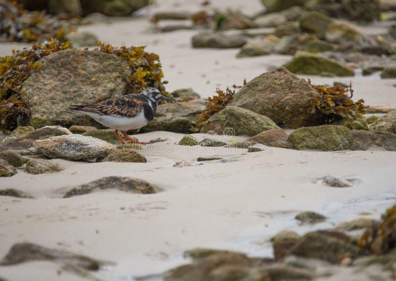 在颜色的翻石鹬鸟在沙子的白天在夏天 免版税库存照片