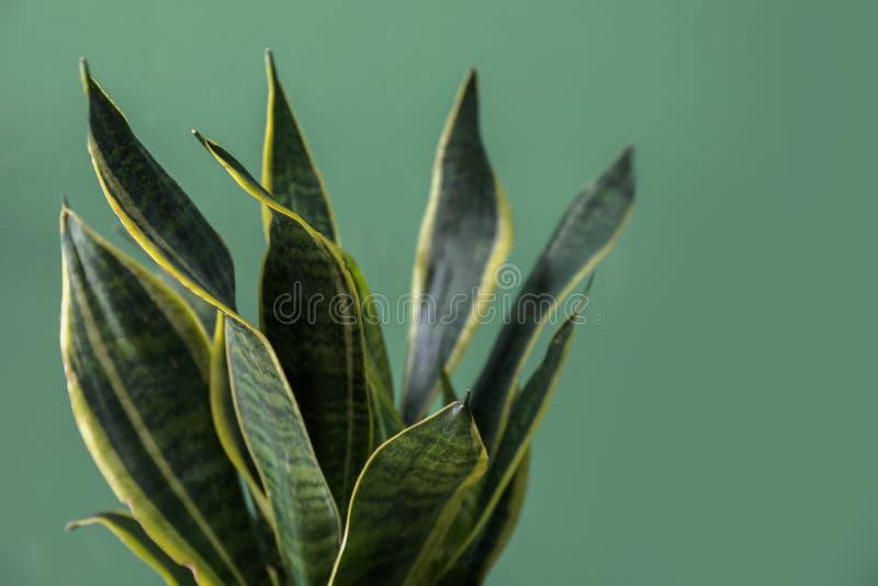 在颜色背景的美好的百合科植物 免版税库存照片