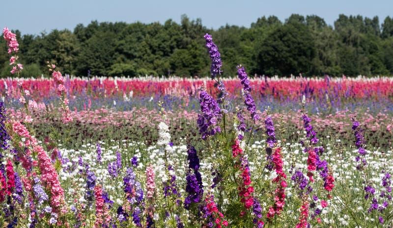 在颜色行种植的五颜六色的翠雀花的领域,在灯芯的一块花田, Pershore,渥斯特夏,英国 库存照片