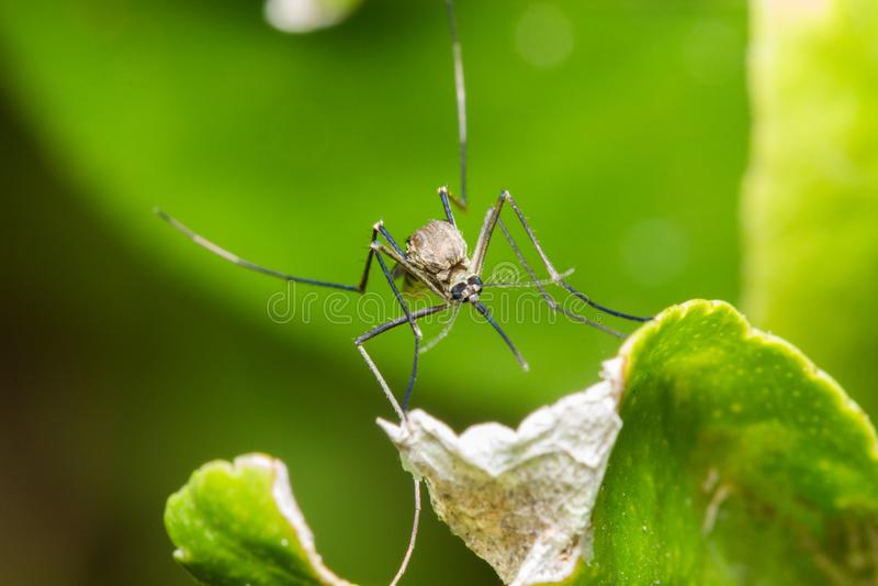 在颠倒一片绿色叶子的蚊子 免版税库存图片