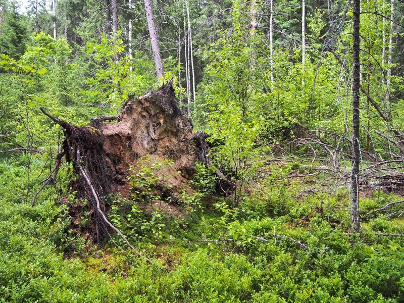 在风暴以后的森林封锁 库存照片