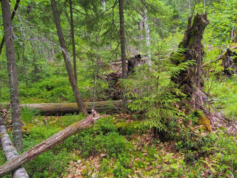 在风暴以后的森林封锁 免版税库存图片