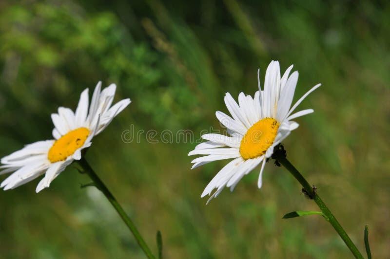 在风的两棵春黄菊 免版税图库摄影