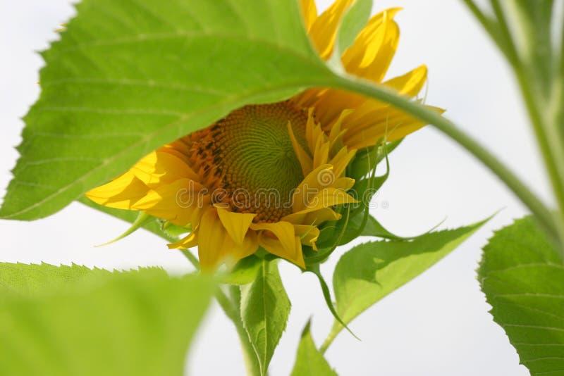 在风的向日葵 库存照片