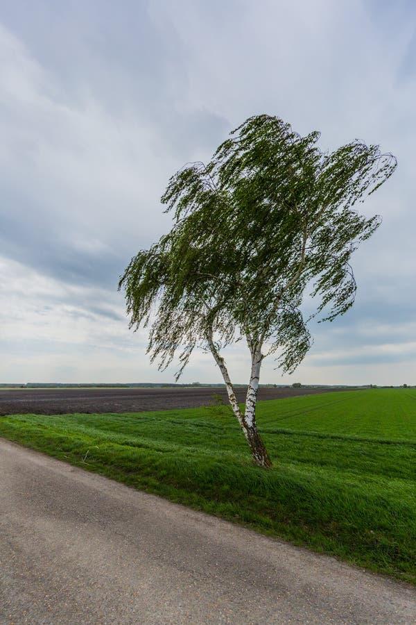 在风的幽静桦树与街道 免版税库存照片