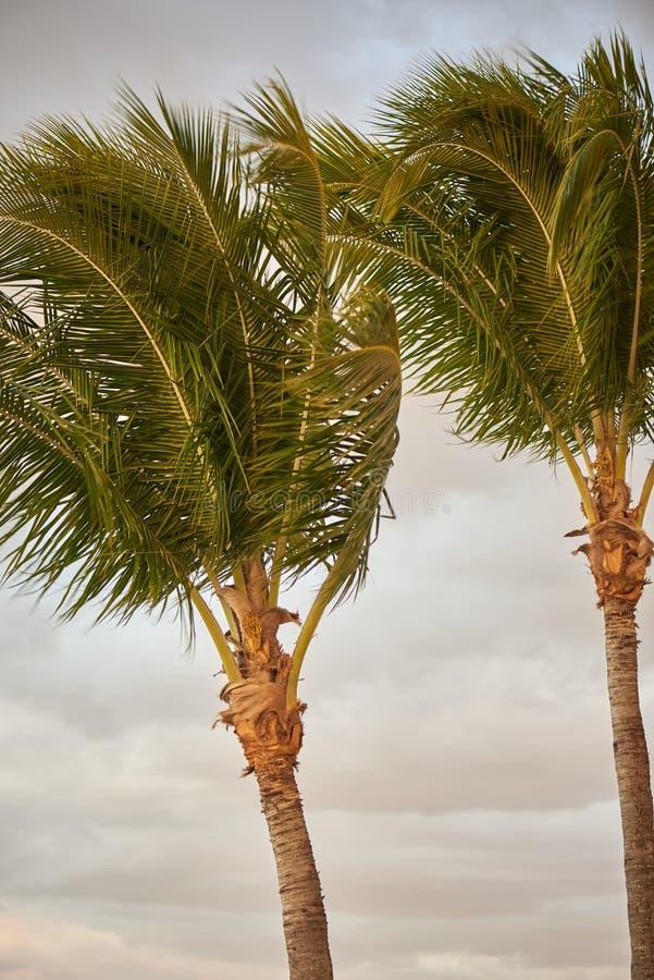 在风的棕榈树 库存照片
