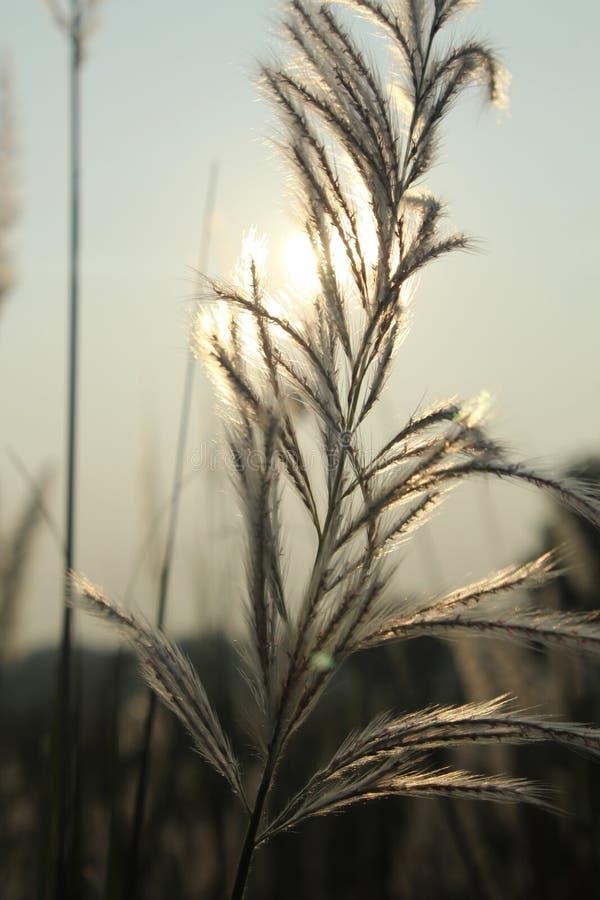 在风的芦苇有日落天空背景 库存照片