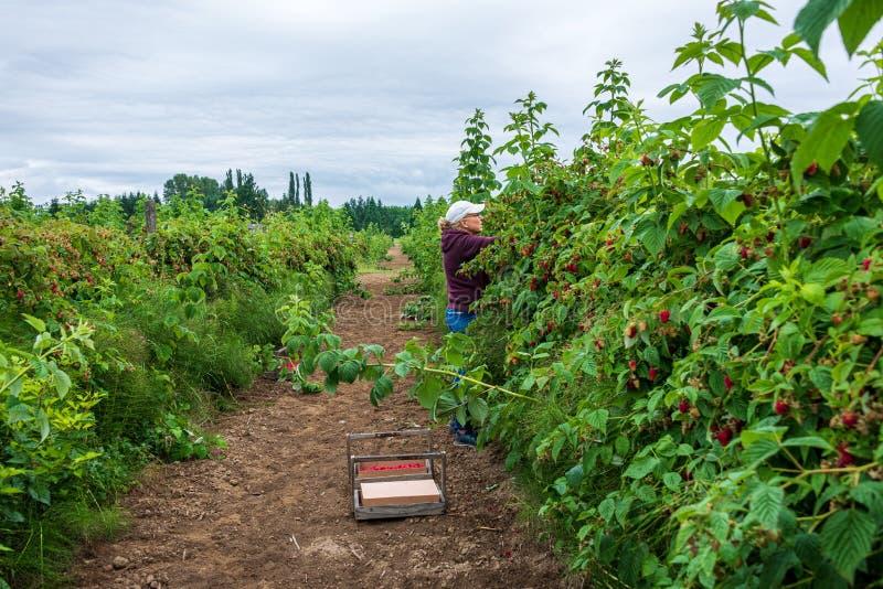 在风雨飘摇的一天里,一个在农场里采摘鲜树莓的女士穿着蓝色牛仔裤、栗色运动衫和白色棒球帽 库存图片