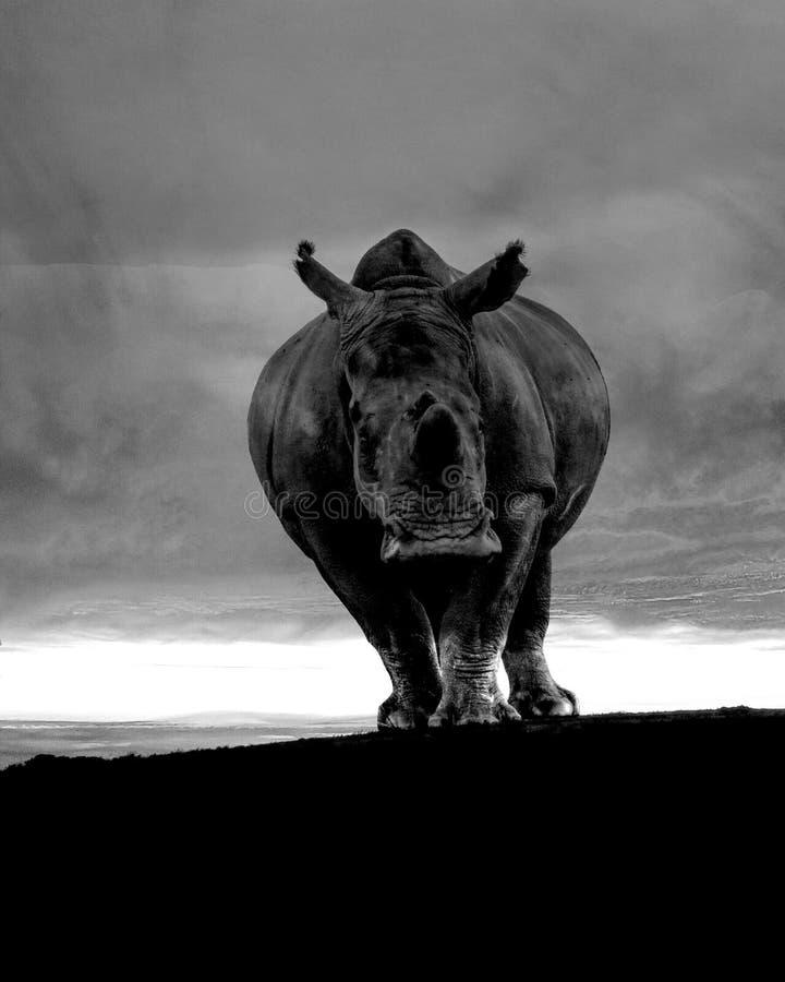 在风暴以后的犀牛在非洲 图库摄影