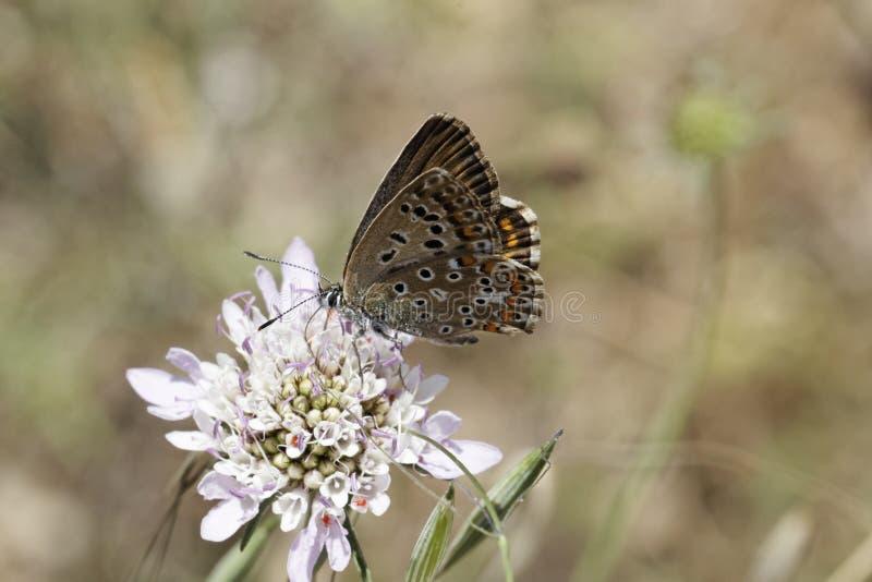在飞蓬绽放的蛛丝飞过的蝴蝶 库存图片