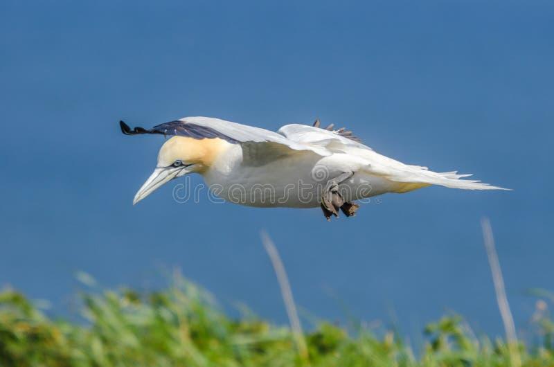 在飞行中一大gannet 免版税图库摄影