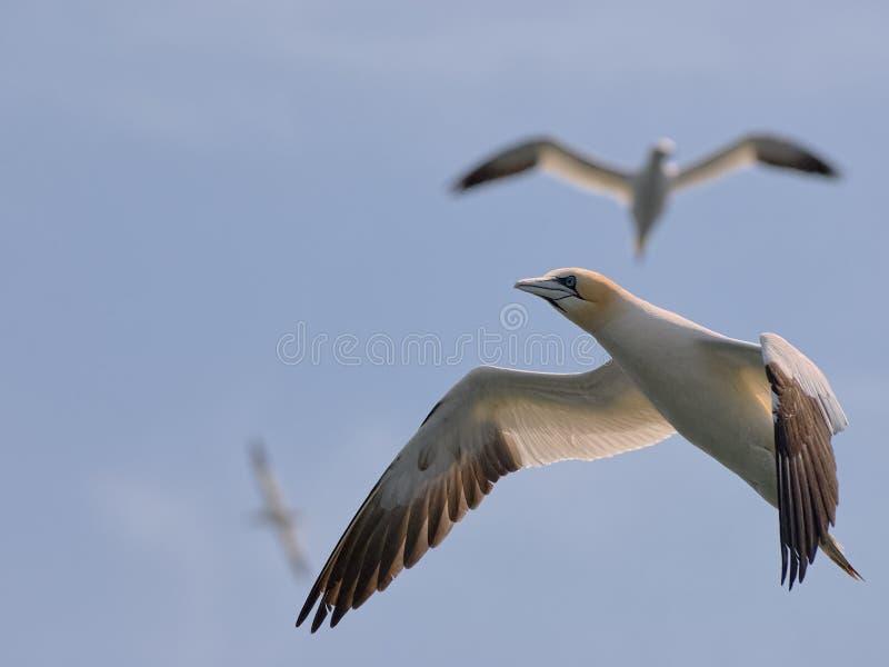 在飞行中与两只ther鸟的酷寒北风Gannet在背景中 库存图片