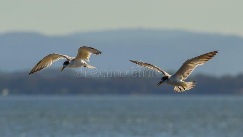 在飞行中两只燕鸥鸟 图库摄影