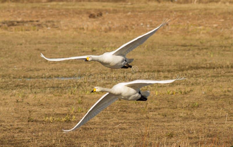 在飞行中两美洲天鹅 免版税库存照片
