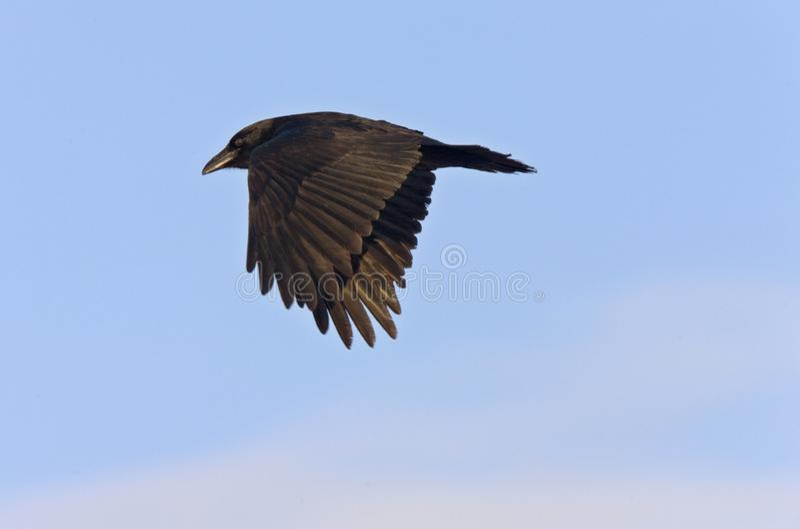 在飞行中乌鸦掠夺 库存照片