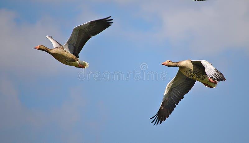 在飞行中二只Greylag鹅 免版税库存照片