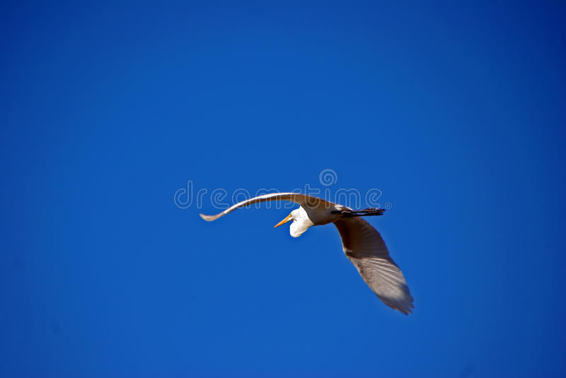 在飞行中伟大的白鹭鸟 免版税库存图片