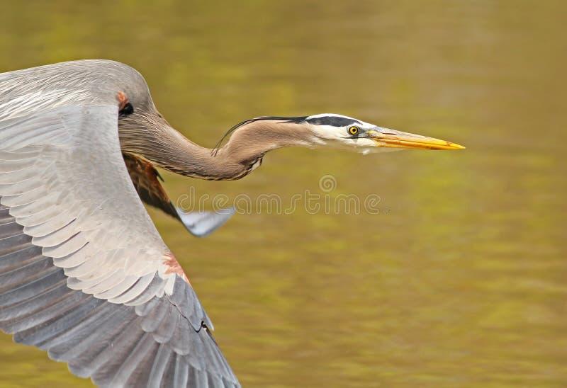 在飞行中伟大蓝色的苍鹭的巢特写镜头 免版税库存图片