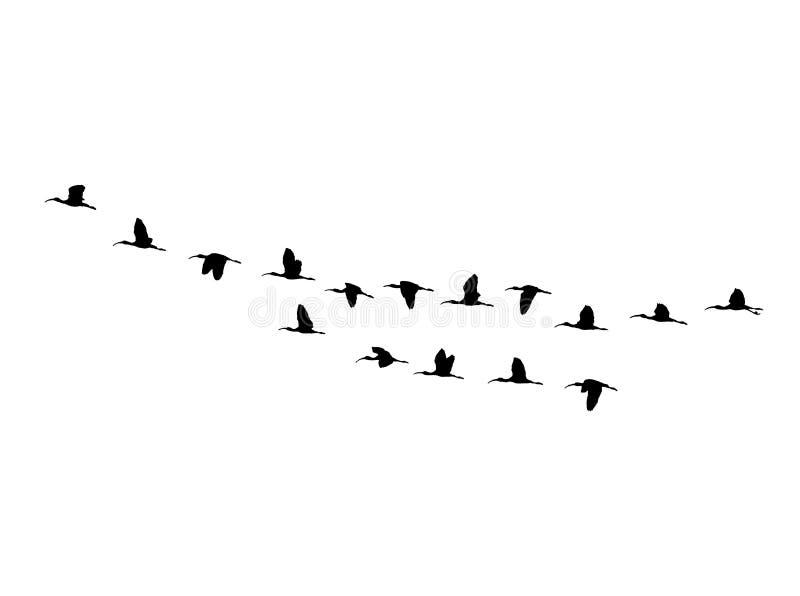 在飞行中光滑的朱鹭楔子 传染媒介剪影鸟群. 分级显示, 飞行.