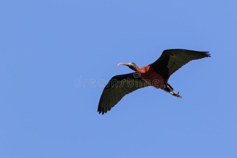 在飞行中光滑的朱鹭plegadis falcinellus 库存照片
