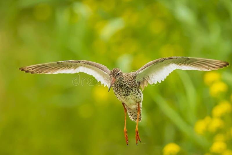在飞行中共同的赤足鹬tringa totanus趟水者鸟 库存照片