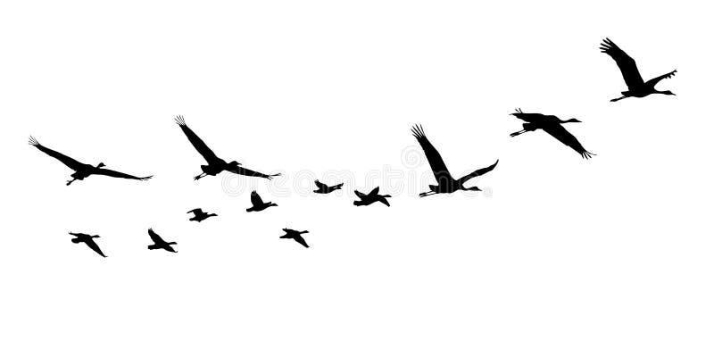 在飞行中共同的起重机和鹅剪影 向量例证