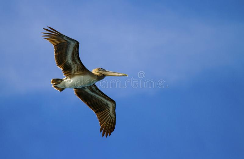 在飞行中加拉帕戈斯布朗鹈鹕 库存照片