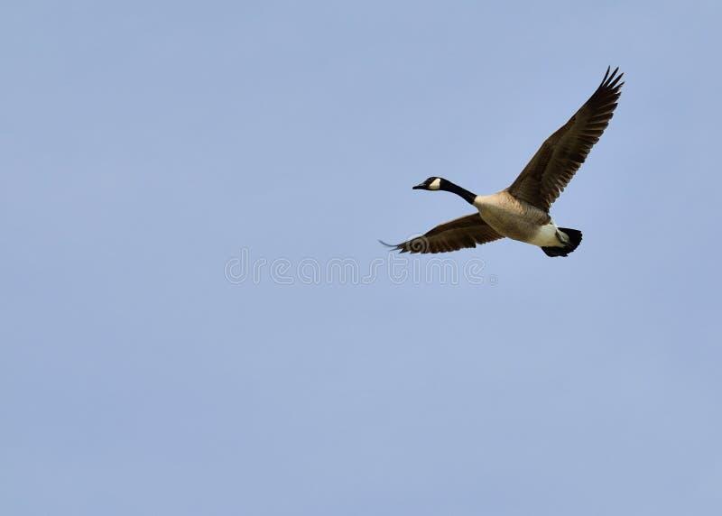在飞行中加拿大鹅 免版税库存图片